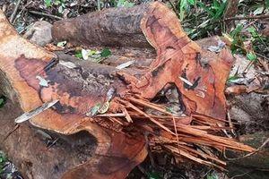 Tiếp diễn nạn phá rừng ở rừng phòng hộ Sông Tranh