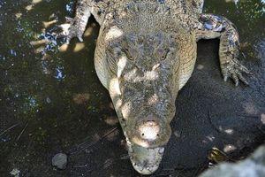 Dân bị cá sấu tấn công, Timor Leste không thể giết con vật linh thiêng