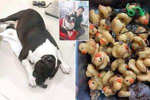 Hoảng hồn phát hiện 32 con vịt cao su trong bụng chó cưng