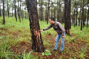 Đắk Nông: Bắt đối tượng chở người đi hạ độc rừng thông cổ thụ cạnh quốc lộ