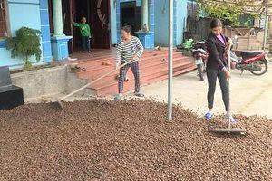 Bình Liêu: Mở rộng diện tích trồng sở