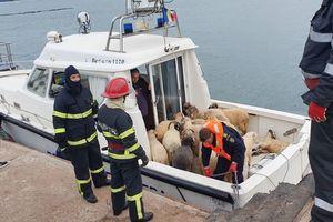 Tàu chở 14.600 con cừu bị lật ở Rumani, chỉ 254 con được cứu