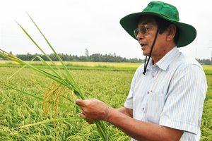 Gặp 'thần nông' Việt ươm mầm hạt gạo ngon nhất thế giới