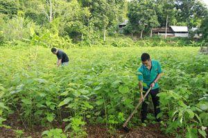 Cây gai xanh giúp người dân Sơn La thoát nghèo