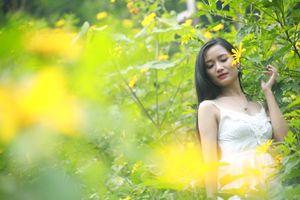 Ba Vì rực vàng mùa hoa dã quỳ