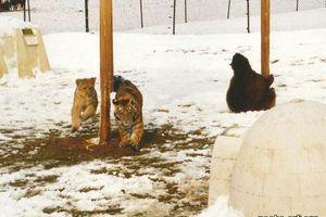 Hành trình gắn kết yêu thương kỳ lạ bộ ba gấu, hổ, sư tử