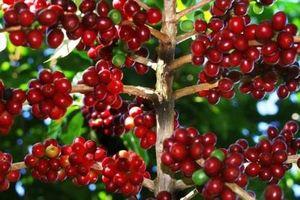 Giá cà phê hôm nay 3/12: Giá cà phê ở Tây Nguyên tăng nhẹ 100 đồng/kg