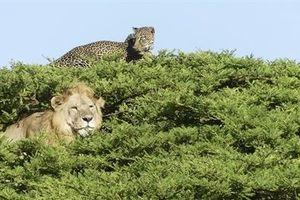 Sư tử leo lên cây bắt báo đốm: Quyết định sai lầm