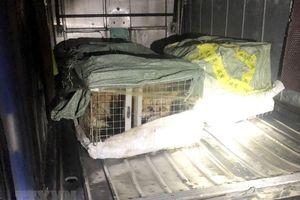 Quảng Ninh: Bắt giữ xe khách vận chuyển 6 con cáo quý hiếm