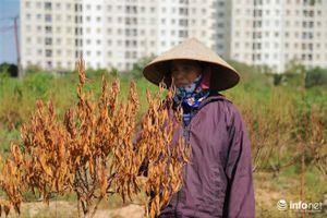 Hà Nội: Người dân Đông Ngạc bất lực nhìn hàng nghìn gốc đào chết khô khi Tết sắp về