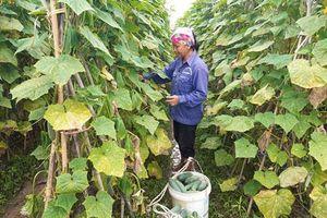 Hà Nội: Hướng mới từ trồng dưa sạch