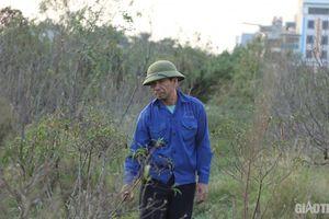 Hàng nghìn gốc đào đang chết mòn, người trồng nguy cơ mất trắng vụ Tết