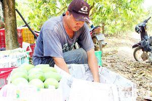 Huyện Định Quán: Năng suất cây xoài tăng gần 20%