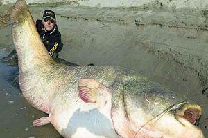 Lạ lùng cá trê khổng lồ ở Campuchia