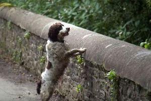 Cây cầu kỳ bí, hầu hết những chú chó đi ngang qua đều lao xuống tự sát