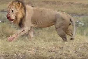 Sư tử đực giết con bạn tình để nhanh được 'mây mưa'