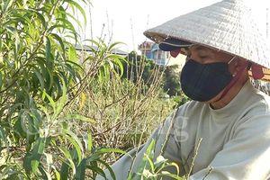 Nông dân Đông Ngạc cay đắng nhìn hàng nghìn gốc đào chết khô trước Tết