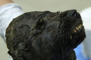 Chú chó lạ đông lạnh 18.000 năm trong băng vĩnh cửu