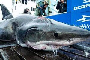 Bắt được cá mập 'quái vật' dài 4m vớt vết thương từ kẻ thù khổng lồ