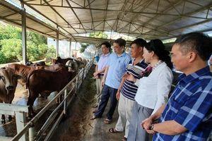 Hiệu quả từ vỗ béo trâu, bò ở Tuyên Quang