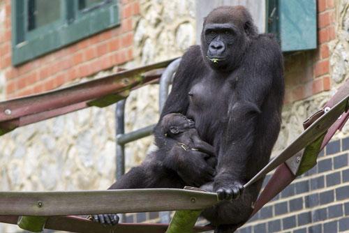 Lần đầu làm mẹ, khỉ đột hạnh phúc ôm cứng con không rời