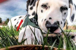 Chú chó nhỏ có trái tim trên mũi đang gây sốt trên mạng xã hội