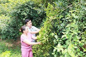 Cao Bằng: Hiệu quả từ trồng cây sở ở Cốc Pàng