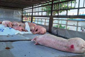 Nam Định yêu cầu thanh tra toàn diện sau vụ khai khống 28 tấn lợn dịch