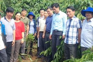 Đắk Nông: Hiệu quả cao khi trồng xen mắc ca với cà phê