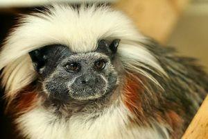 Chùm ảnh: Khỉ sóc đầu trắng và mái tóc 'nghệ sĩ' ấn tượng