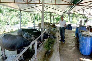Tuyên Quang: Lợi ích kép từ nuôi đại gia súc