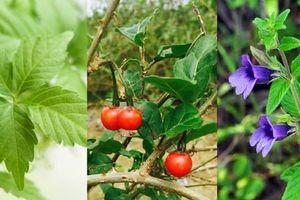 Cây thuốc quý trong vườn nhà, giúp giải độc gan cho người nghiện rượu