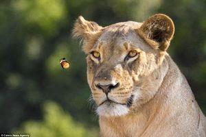 Khi 'mãnh thú' sư tử say đắm với vẻ đẹp của bướm