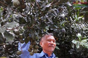 Kon Tum: Ghép mắc ca với cây bố mẹ đạt 1 tạ quả/cây
