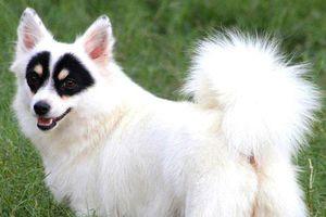 Chó mặt nạ gây sốt nhờ vẻ ngoài giống anh hùng