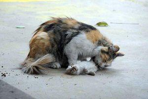 Rớt nước mắt cảnh mèo mẹ ngã gục bên xác con