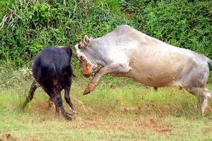 Kinh hoàng cảnh đấu bò man rợ ở Trung Quốc