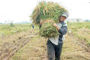Thái Bình: Sản xuất an toàn, nâng cao giá trị lúa nếp làng Keo