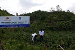 Lào Cai: Phát triển cánh đồng dược liệu quý để giảm nghèo cho người dân Bắc Hà