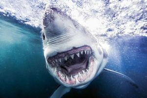 1001 thắc mắc: Cá mập trắng bị sát thủ nào hạ gục?