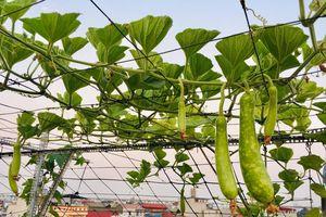 Sân thượng phủ kín màu xanh tươi với đủ loại rau quả sạch ở Hà Nội