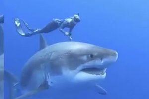 Cô gái bơi cùng cá mập trắng khổng lồ