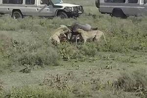 Báo đốm đoạt mạng linh dương đầu bò trong 'một nốt nhạc'