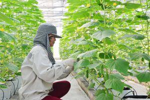 Đông Triều: Nâng giá trị kinh tế cây trồng vụ đông