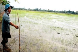Tìm cách giảm phát thải khí nhà kính trong canh tác lúa