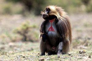 Loài khỉ lạ kỳ có 'trái tim rỉ máu', 'đỏ rực' khi muốn 'yêu'