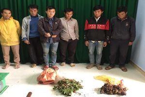 14 gã trai lén lút đào sâm bảy lá và củ Tam thất đen khu vực biên giới Quảng Nam