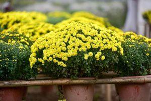 Cúc mâm xôi được mùa, trúng giá trong dịp Tết 2020