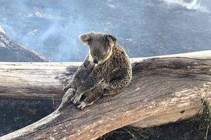 Xót xa hình ảnh gấu túi trong thảm họa cháy kinh hoàng nước Úc