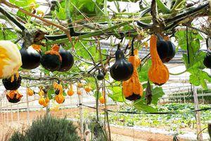 Ngỡ ngàng với vườn cây trái lạ của lão nông Đà Lạt